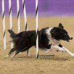 canine agility idaho
