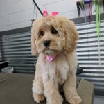 Puppy Grooming in Boise